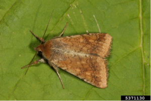 Adult Helicoverpa armigera