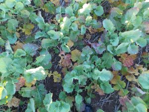TuYV symptoms in canola.