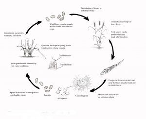 Disease cycle of powdery mildew on cereals.