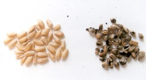 Healthy and bunt infected wheat grain