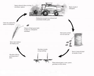 Disease cycle of covered smut (bunt/stinking smut) in cereals.