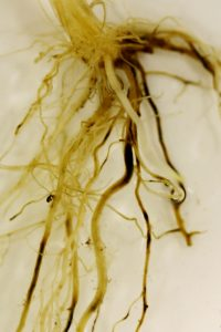 Take-all infection of wheat seedling. The blackening of the roots, with the black fungal growth present in the centre of roots a useful diagnostic feature.