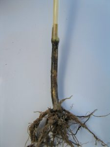 Severe take-all symptoms on mature plant showing blackened roots, sub-crown internode and crown.