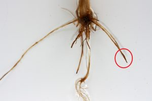 Characteristic spear tipping mostly on the secondary roots, caused by Rhizoctonia solani