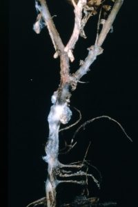 Sclerotinia stem infection of chickpeas. White fluffy mycelium and sclerotia formation are evident.