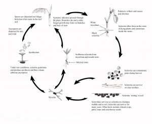 Disease cycle of sclerotinia of chickpea.