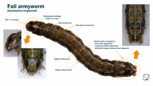 Identifying features of a Fall armyworm larva