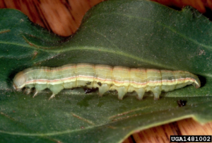Larvae Spodoptera exigua