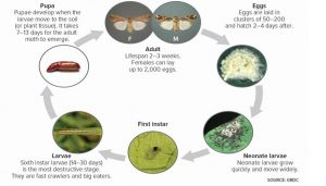 Lifecycle of Fall armyworm