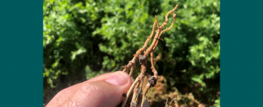Black sclerotia on the stems of lentil plants