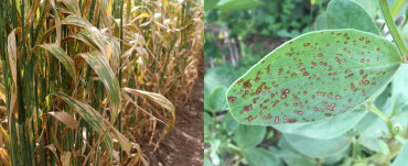 Yellow leaf spot in cereals and chocolate spot on faba bean