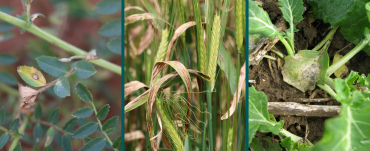 Pulse, cereal & oilseed crop diseases