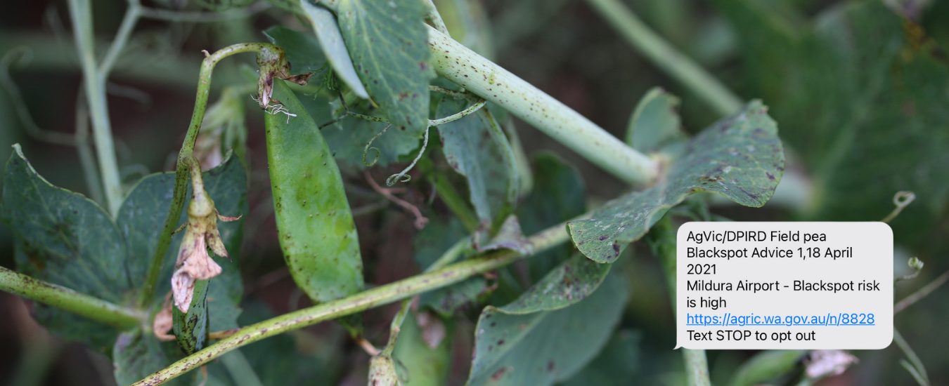 Blackspot on field peas with an example of an sms alert for the Mildura area