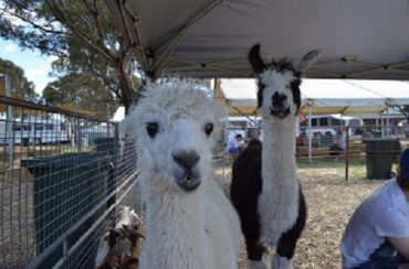 Two alpacas at an agricultural show