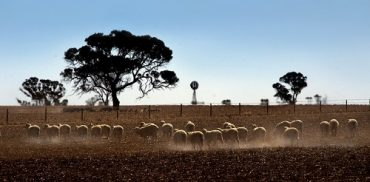 Flock of sheep in dry paddock