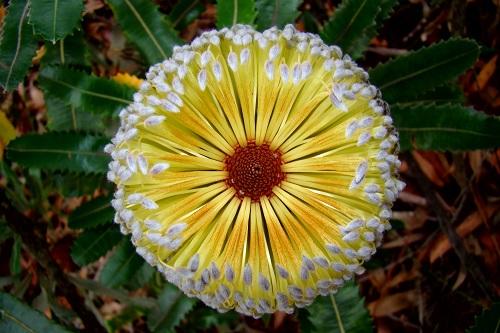 Yellow flowering Banksia