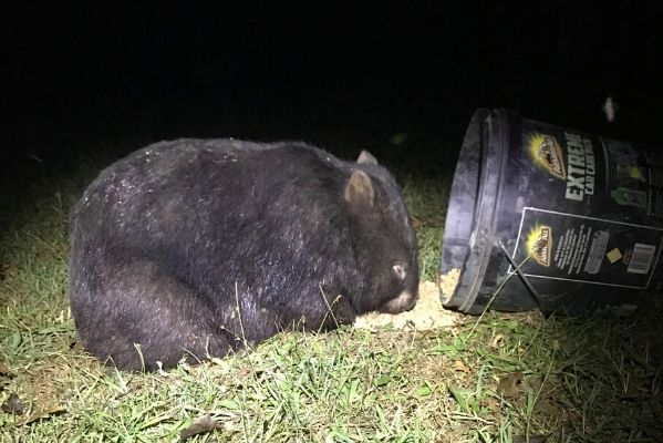 Above: Rue, a hand-reared orphan from Goongerah Wombat Orphanage on the night the wombats were found to have survived the fires. Credit: Wildlife Victoria