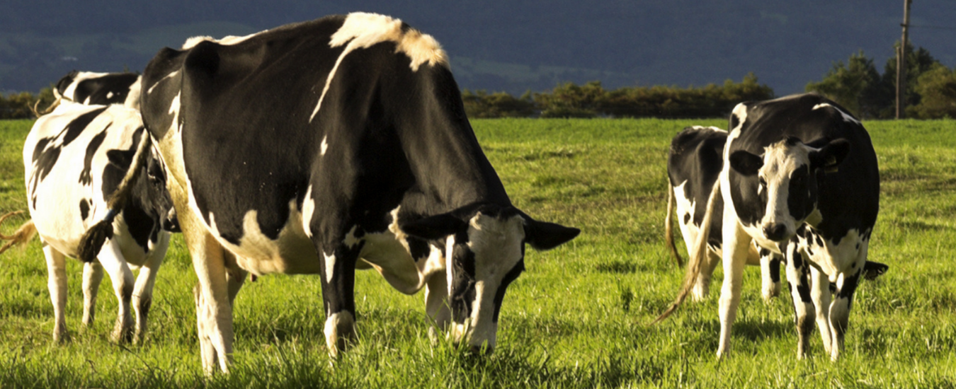 Dairy cows eating grass in a paddock