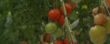 Ripe & unripened tomatoes