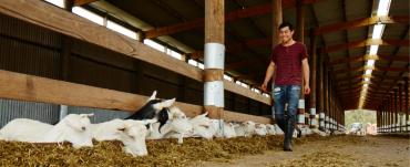 Man walking through a goat dairy