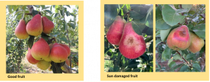 pears with and without sun damage