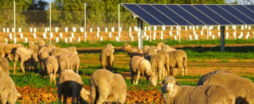 Elevated Solar panels with sheep grazing below