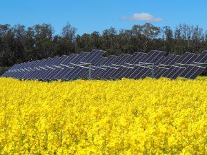 Solar panel array in canola field in flower, blue sky