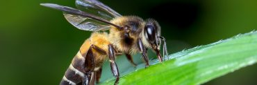 asian honey bee