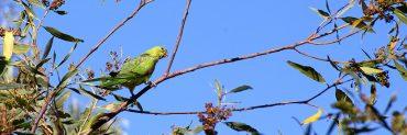 bird in gum tree