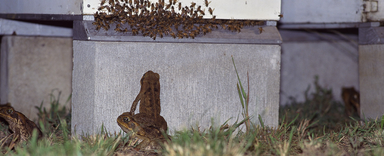 Cane toads at the beehive