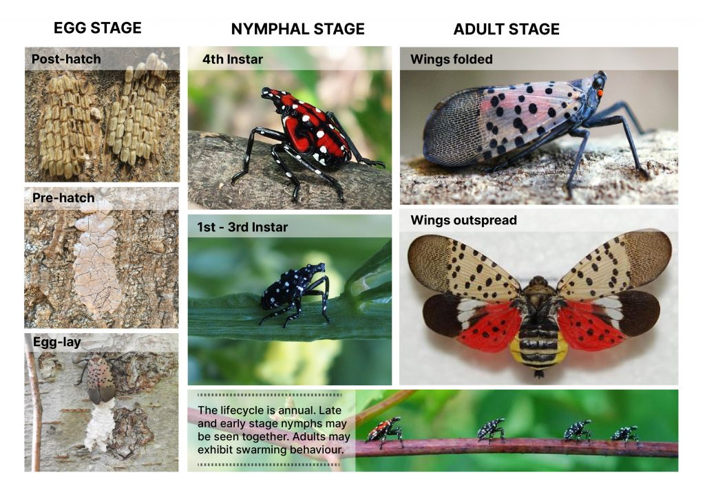 Spotted lanternfly lifecycle diagram