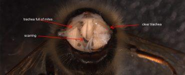 Tracheal mite