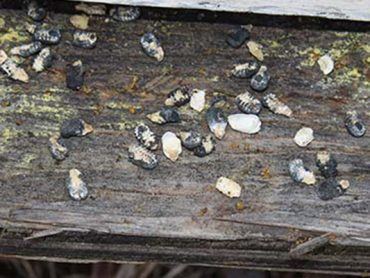 Chalkbrood mummies at the entrance to a colony