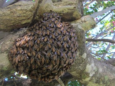 Swarm of Asian honey bees