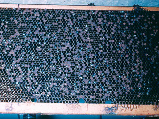 A brood frame with a poor brood pattern due to chalkbrood infection