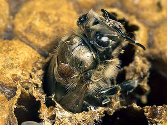 Varroa on an emerging worker bee