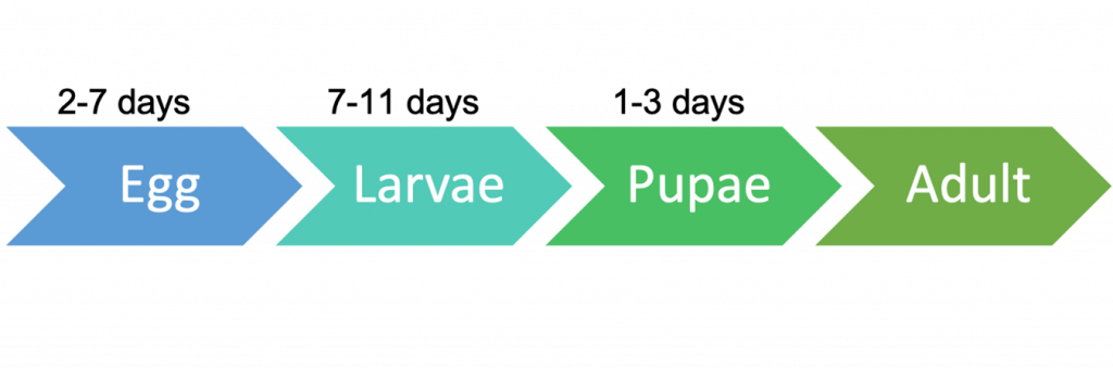 braula lifecycle diagram