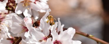 A honey bee pollen forager on almond blossoms.