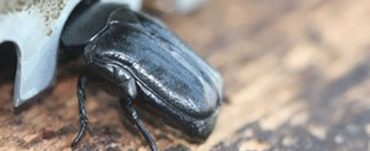 large african hive beetle
