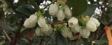 bee pollinating blueberries