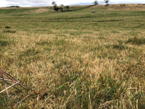 Curing of pasture at the Baynton site in 2019.