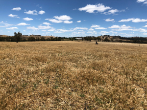 Cured pasture at the Baynton granite site in 2019.