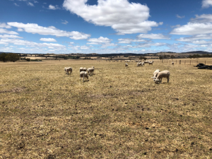 Cured pasture at the Baynton granite soil paddock with sheep grazing in 2019.