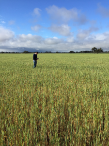 The Dingee in a wheat rotation in 2019, which ended up being cut for hay.