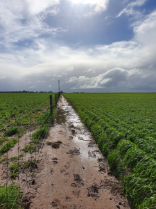 The Brim site in June 2019 with the wheat paddock on the right which has the soil moisture probe and a faba bean crop on the left.