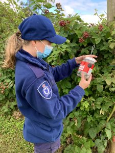 Biosecurity Officer Ellen Hookey inspecting SWD traps at a berry farm in Yarra Valley