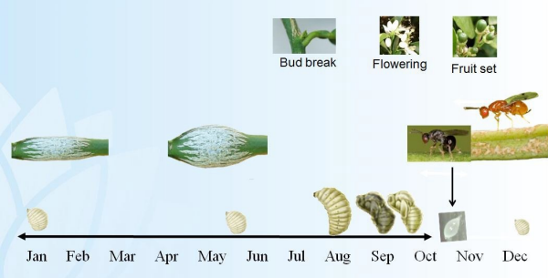 Citrus gall wasp lifecycle Source: DPI NSW