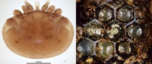 Varroa mite and hive infected with varroa mite