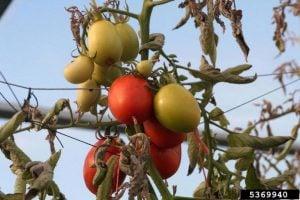 Tomato potato psyllid (Bactericera cockerelli) damage