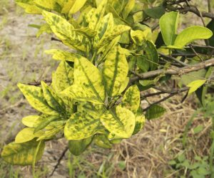 Orange citrus trees heavily infected with huanglongbing HLB yellow dragon or citrus greening plague deadly disease caused by candidatus liberibacter bacteria